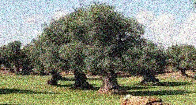 Perchè queste cose non le dicono? – La vittoria degli ulivi pugliesi: Xylella sconfitta con una antica pratica agronomica che salva la pianta senza bisogno di eradicare !!