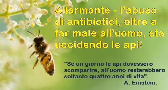 Allarmante – l'abuso di antibiotici, oltre a far male all'uomo, sta uccidendo le api!