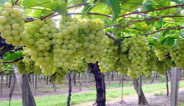 Incredibile – Il Canada esporta in Sicilia grano duro pieno di glifosato e micotossine, ma pretende uva da tavola siciliana supercontrollata!!