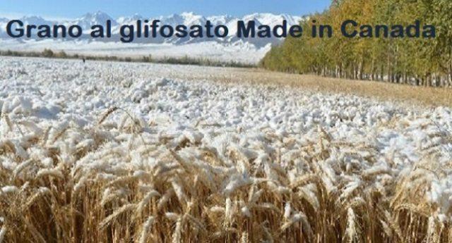 In arrivo da Vancouver una nave con 50mila tonnellate di grano. Gli Agricoltori protestano. Dovremmo farlo pure noi: Ecco il grano canadese coperto di neve, che può maturare solo grazie al glifosato! Ce lo ritroveremo sulle nostre tavole, mentre il nostro grano marcisce nei campi!!