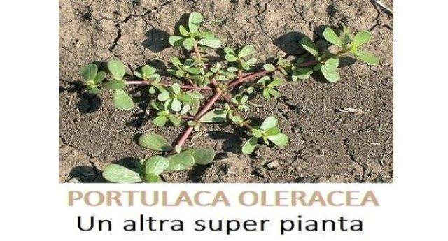Portulaca Oleracea è una super pianta anticancerogena che ci fa bene alla salute, ma non lo saprete mai perché non conviene alle case farmaceutiche !!