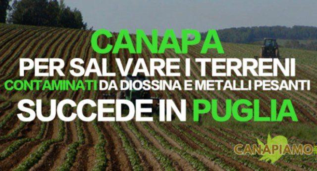 Coltivare canapa per salvare i terreni contaminati da diossina e metalli pesanti. Succede in Puglia, nel silenzio più assoluto dei media.