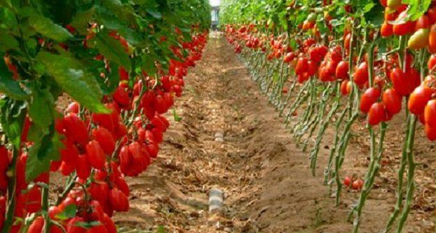 """I Pomodori del nostro Sud, """"alleati"""" preziosi nella lotta contro il cancro"""