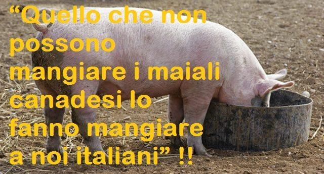 """Grano straniero – """"Quello che non possono mangiare i maiali canadesi lo fanno mangiare noi italiani""""…!"""