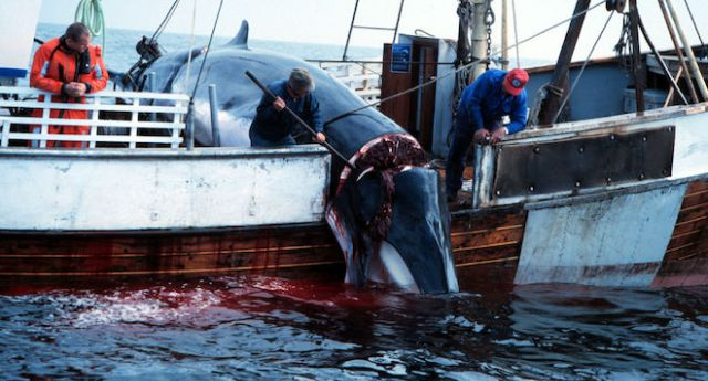 Vergognoso – Unione Europea complice del massacro delle balene – L'accordo commerciale fra con il Giappone, consente alla Norvegia di sterminare migliaia di balene …Le preferite? Femmine incinte, il 90% del massacro!