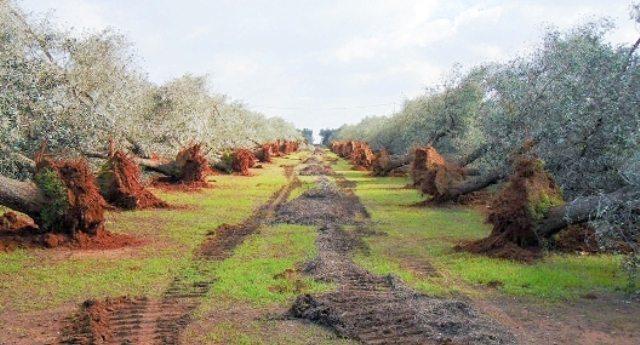 """Xylella, dal M5S l'accusa contro l'Europa: """"schiaffo agli agricoltori pugliesi – rimandano il reimpianto delle varietà resistenti alla Xylella"""""""