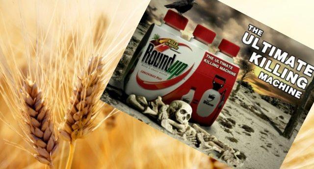Intolleranti al grano? Attenzione, potrebbe non essere il glutine, ma il pesticida Roundup di Monsanto!