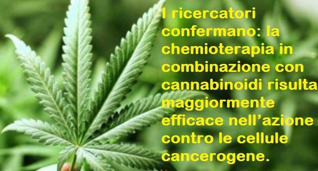 I ricercatori confermano: la chemioterapia in combinazione con cannabis risulta maggiormente efficace nell'azione contro le cellule cancerogene.