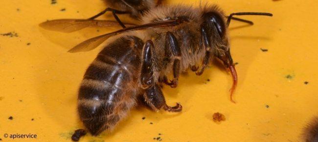 L'allarme degli Apicoltori svizzeri: «Troppe intossicazioni da pesticidi»