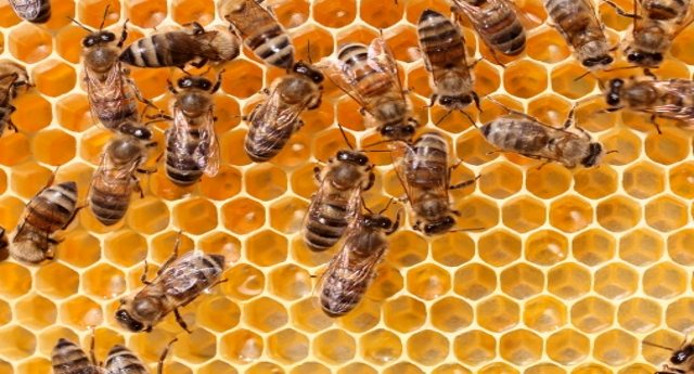 Un altro sciagurato effetto degli incendi dell'estate scorsa? Solo sul Vesuvio 50 milioni di api morte!