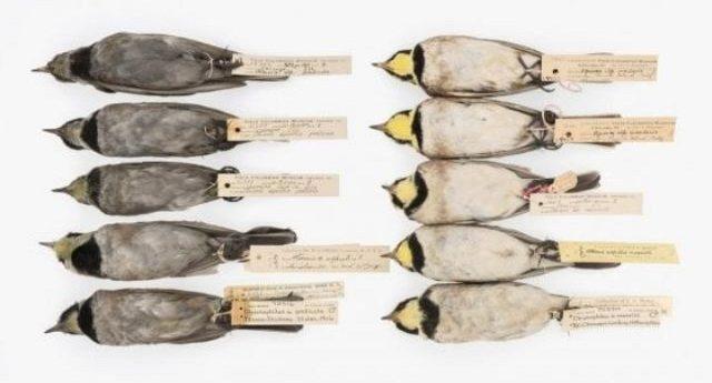 Uccelli neri per l'inquinamento. Ecco cosa ci insegnano sulle politiche ambientali