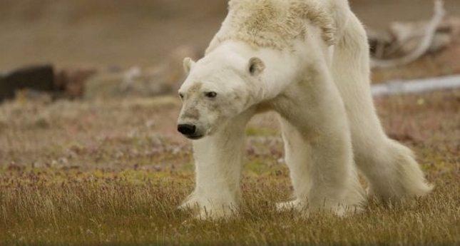 """Le strazianti immagini dell'orso polare che muore di fame – Il fotografo e attivista Paul Nicklen: """"lo ho ripreso per smuovere le coscienze"""""""