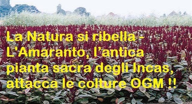 La Natura si ribella – L'Amaranto, l'antica pianta sacra degli Incas, attacca le colture OGM !!