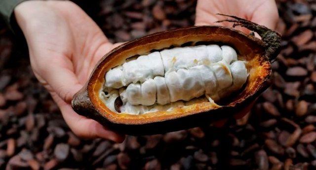 Mars vuole modificare geneticamente il cacao – La scusa è che ce n'è poco. La verità che noi mangeremo porcherie e loro guadagneranno di più!