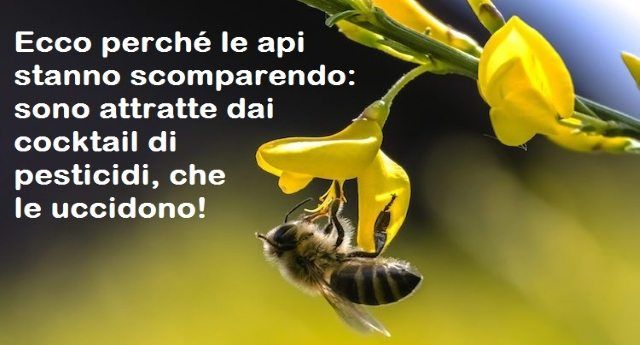 Ecco perché le api stanno scomparendo: sono attratte dai cocktail di pesticidi, che le uccidono!