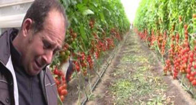 """L'Unione Europea con la complicità del nostro Governo dichiara la morte di un'altra eccellenza Italiana: il pomodoro di Pachino schiacciato dai trattati. Gli agricoltori: """"Raccoglierlo non conviene. La politica ci prende per i fondelli"""""""