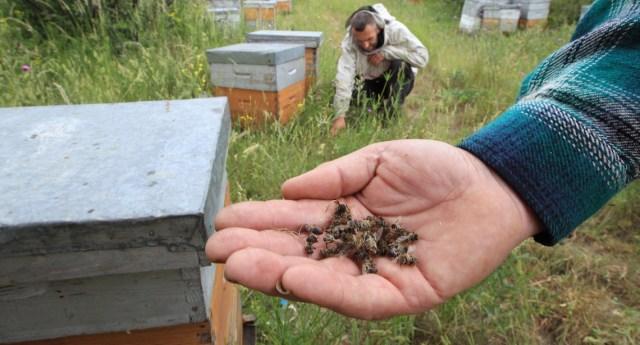 Monsanto: prima uccide le api e poi vende le api robot per impollinare artificialmente i campi OGM.