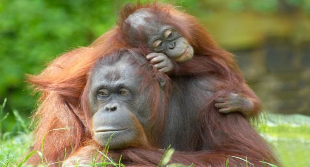 La strage di cui nessuno parla: l'olio di palma ha ucciso oltre centomila oranghi… Ma voi continuate a mangiare Nutella… che ve ne frega, il Pianeta mica è vostro!