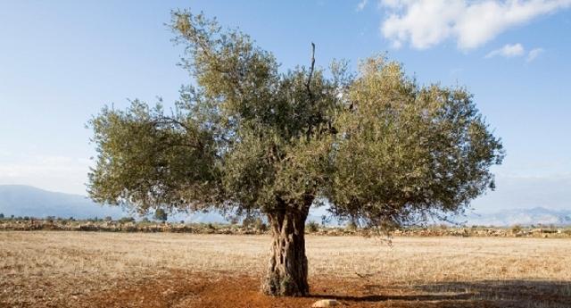 Sì, alcuni ulivi sono ancora vivi – La cura contro la  Xylella sembra dare risultati. Ma sembra pure che la cosa non fa piacere a tutti…!