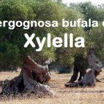 Xylella