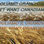 grano canadese