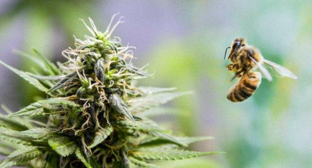 campi di cannabis